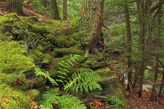 Little Rocky Glen Preserve (7) (Nicholas_T) Tags: autumn trees plants nature forest moss rocks hiking pennsylvania creativecommons vegetation ravine ferns wyomingcounty undergrowth hemlocks endlessmountains understory clintontownship easternhemlocks southbranchtunkhannockcreek countrysideconservancy littlerockyglen