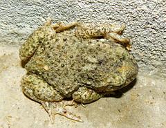 Crapaud bizarre: hier il cherchait  s'enfoncer dans du bton pour y passer l'hiver. Aujourd'hui il a disparu mais le trou dans le bton s'est referm! :-) (Marie-Hlne Cingal) Tags: france toad 40 landes sudouest aquitaine crapaud cagnotte paysdorthe