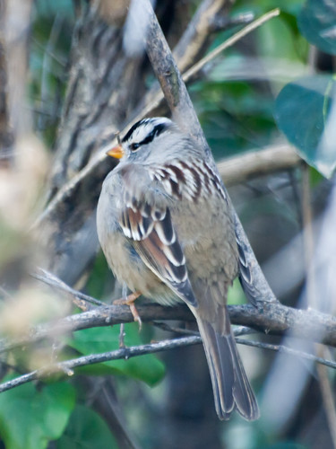 """White-crowned Sparrow • <a style=""""font-size:0.8em;"""" href=""""http://www.flickr.com/photos/59465790@N04/8176199605/"""" target=""""_blank"""">View on Flickr</a>"""