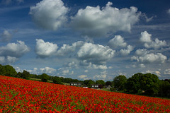 Remembrance (snowyturner) Tags: flowers trees sky field clouds angle poppy poppies remembrance berkshire slope lambourn