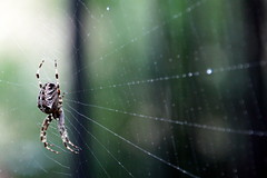 web-side (cc) (marfis75) Tags: macro monster danger spider dangerous web side creative commons cc creativecommons online spidey spinne links makro spidersweb rechts netz spinnennetz gefhrlich spinnen gefahr seite webside thekla beute anansie marfis75