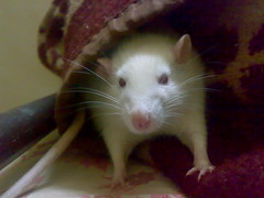 Gaaye Mouse - Cutest White Rat Ever! (Gaaye Mouse) Tags: november white mouse rat peace rip 14 rest 2012 gaaye