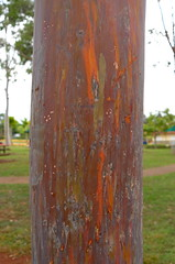 Rainbow Tree Bark (Alaa Esmaiel) Tags: hawaii oahu bark dole 2012 rainbowtree