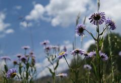 ~ a purple scene 4 my special angel ~ (^i^heavensdarkangel2) Tags: purple sony wildflowers mothernature motherearth purpleflowers fathersky pagosacountry fool4u sonydslra380 desbahallison summer2012 heavensdarkangel2 heavensfoolishdecisions