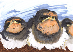 barn swallows 001 (lulurue) Tags: baby birds illustration barnswallows
