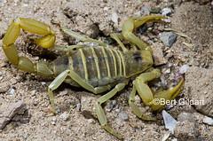 scorpions (1 of 1)