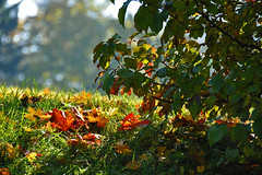 The time of the autumn leaves... (Vestaligo) Tags: autumn fall grass leaves geotagged austria sterreich bush herbst gras bltter strauch loweraustria