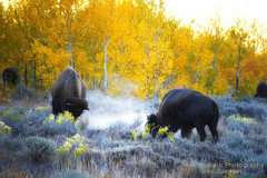 DUST UP ... (Aspenbreeze) Tags: mountain mountains buffalo wildlife ngc wildanimal wyoming bison rut tetonrange topshots photosandcalendar natureselegantshots panoramafotogrfico rutseason bestcapturesaoi aspenbreeze theoriginalgoldseal flickrsportal tetonnationpark rememberthatmomentlevel4 rememberthatmomentlevel1 magicmomentsinyourlifelevel1 rememberthatmomentlevel2 rememberthatmomentlevel3 topphotospots tpswildlife gpsetest bevzuerlein onlythebestofflickr