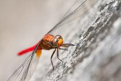 Orange Skimmer (Nomadic-Imagery) Tags: orange black macro male face closeup insect photography wings eyes dof dragonflies dragonfly wildlife odonata pondlife compoundeyes orthetrumtestaceum orangeskimmer