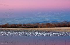 Incoming Flight I (San Francisco Gal) Tags: morning autumn mountain newmexico tree bird water field sunrise landscape nm morph bosquedelapache avian sandhillcrane riogrande nationalwildliferefuge snowgeese chencaerulescens bluegoose ringexcellence