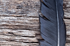 wood and feather (wolfman570) Tags: feather nativeamerican driftwood ethnic blackfeather