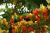 Castanospermum australe (Black bean, Moreton Bay Chestnut) (4) (KarlGercens.com GARDEN LECTURES) Tags: bird orangeflowers castanospermumaustrale gardensinaustralia2011