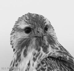 buizerd (martin ritmeester1961) Tags: vogels zuidholland buizerd