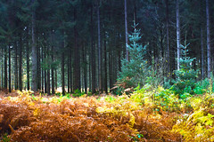 Colors (Lucien Vatynan) Tags: wood autumn trees colors automne canon eos couleurs arbres normandie normandy fort bois fougres orne sapins 60d andaines