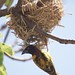 Village Weaver with nest by Ed Drewitt