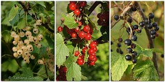 Red-White-Black (Tatters:)) Tags: berries russia mosaic dacha colage currants sakhalin currant ribes  3x1 grossulariaceae