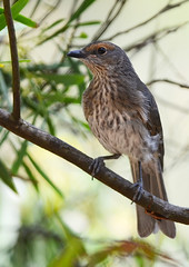 Immature Shrike Thrush (J Allan-1) Tags: 300mm wetlands 14tc nikor laratinga