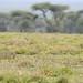 Female cheetah chasing Thompsons Gazelle at Serengeti NP in Tanzania-02-2 1-19-12