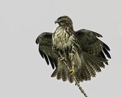 Precarious Perch (Team Hymas) Tags: maintain perch balance redtailedhawk precarious ridgefieldwildliferefuge teamhymas