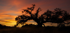 Sunset and oak tree - Explored (Don McCullough) Tags: sunset tree oak sonomacounty santarosa