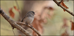 Junco (Diane G. Zooms) Tags: nature birds junco darkeyedjunco wildbirds mfcc coth supershot specanimal coth5 sunrays5 saaiysqualitypictures