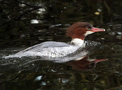 Serrated Smile (Ger Bosma) Tags: bird female duck europe commonmerganser vrouwtje mergansogrande goosander storskrake thegalaxy zaagbek tracznurog gnsesger harlebivre grotezaagbek storskallesluger smergomaggiore serretagrande mygearandme mygearandmepremium mygearandmebronze  grutteseachbek img68607