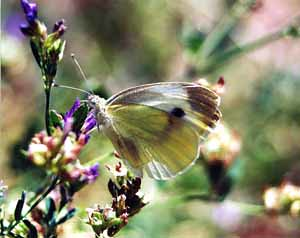 Photo - White Boulder Butterfly