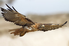 Friendly RTH (bmse) Tags: hawk wingspan redtailedhawk bolsachica salahbaazizibmsecanon7d400mm56
