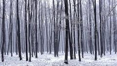 Winter impression (radimersky) Tags: camera wood las trees winter panorama snow tree forest landscape europa europe december day sony poland polska polish blank snowing deciduous zima emptiness compact nieg kompakt pada krajina drzewa krajobraz grudzie zimowy opolskie 1920x1080 pustka pusty niwki dschx9v liciasty pwwinter