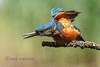 Aggressive Kingfisher (Nigel Dell) Tags: summer birds wildlife places hampshire kingfisher avianexcellence naturesharmony ngdphotos