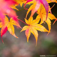 Seiryoji / Kyoto, Japan (yameme) Tags: travel japan canon eos maple kyoto bokeh arashiyama    kansai  sagano   seiryoji   24105mmlis  5d3 5dmarkiii