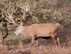 Red Deer (hank photography) Tags: wild nature bedford countryside nikon wildlife bedfordshire deer reddeer woburn d90 woburnhouse bedfordcameraclub hankphotography wwwhankphotographycouk