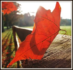 Garrison Forest ~ Fall leaf macro - HMM! (karma (Karen)) Tags: trees light texture leaves backlight shadows dof bokeh fallcolors fences maryland explore fields macros hmm 4autumn squared owingsmills garrisonforest baltimoreco macromondays cmwdred