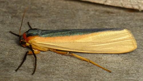 Tiger Moth, Agylla sp.? Arctiinae