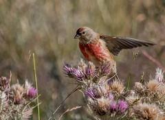18 07 2016 (cathyk31) Tags: bird oiseau cardueliscannabina commonlinnet linottemlodieuse fringillids passriformes