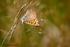 Small Copper 4 (ABPhotosUK) Tags: animals butterflies canon dartmoor devon ef100400mmisii ef25mmextensiontube eos7dmarkii invertebrates lepidoptera lycaenaphlaeas lycaenidae macro nocrop smallcopper wildlife