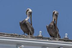 Pelicans (Patrick Gregerson) Tags: 2011 adobelighroom california canonefs18200mmf3556is canonrebelxti legunabeach pacificocean september bird blue fauna pelican people seabird sky summer vacation water
