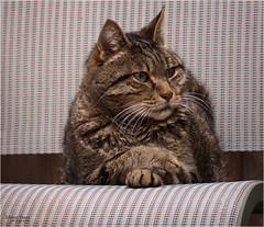 I'm listening.  Not impressed so far... (marneejill) Tags: crossed paws cute funny chair serious tabby whiskers
