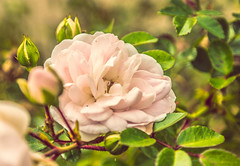 Gentleness (Monika ukauskyt) Tags: rosehips rose pink bloom blooming blossom flower plant green outdoor spiderweb web
