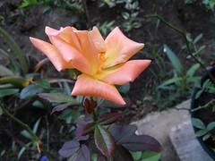 Beautiful Rose (Esteban 507) Tags: rose rosa garden leaves jardin hojas nature naturaleza jardinverde greengardens