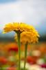 Zinnia (Yorkey&Rin) Tags: 2016 7月 bluesky em5 flower japan july lakeyamanaka leicadgmacroelmarit45f28 macro olympus rin t7241558 yamanashi zinnia ジニア マクロ 花の都公園 山中湖 青空