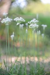 summer dream (courtney065) Tags: nikond600 nature meadow dreamy summer depthoffield dof soft artistic pastels flora flowers wildflowers