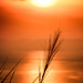 Silver Grass in Sunset