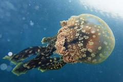 Papuan Jellyfish (Gomen S) Tags: jellyfish animal wildlife nature macro tg3 pt056 torch flash diffuser ring olymups hk hongkong china asia tropical summer 2016 afternoon ocean sea marine diving