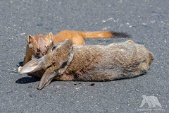 Long Tailed Weasel killing a rabbit... (fascinationwildlife) Tags: animal mammal wild wildlife nature natur point reyes california usa america long tailed weasel wiesel kill rabbit road