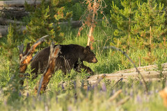 Mama Bear on the Move (ken.krach (kjkmep)) Tags: bear yellowstonenationalpark