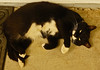 Cats (JRR) Tags: nickie cat animal pet ranchoroberts