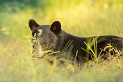_H4I2199 (Confusion_Circle) Tags: baker black bear deer coquitlam britishcolumbia canada ca canon 1dxmkii 600mm
