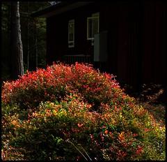 Dry summer. Blueberry bushes on fire (Anders Hjertn) Tags: sweden vrmland vrmlandsns vnern
