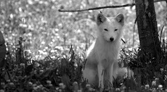"""The Fox"" en noir et blanc.. (Captions by Nica... (Fieger Photography)) Tags: fox arcticfox arctic animal wildlife outdoor monochrome blackandwhite black white quebec canada"